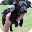 Photo 2 - Terrier (Unknown Type, Small)/Beagle Mix Puppy for adoption in Grass Valley, California - Male Puppies
