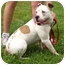 Photo 2 - English Bulldog Mix Dog for adoption in Somerset, Pennsylvania - Sunflower