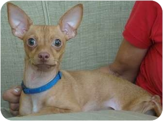 Chihuahua Dog for adoption in Coral Springs, Florida - Chico