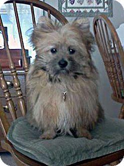 Yorkie, Yorkshire Terrier/Pomeranian Mix Puppy for adoption in Kokomo, Indiana - Buddy Boy