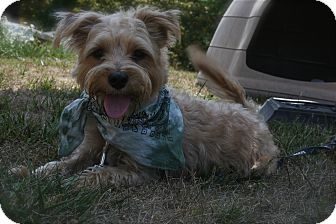 Cairn Terrier Mix Dog for adoption in Brazil, Indiana - Romeo