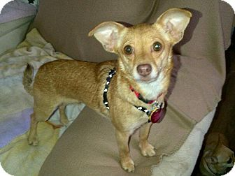 Chihuahua Mix Dog for adoption in Mount Gretna, Pennsylvania - Kitty