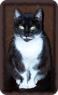 Domestic Shorthair Cat for adoption in Brookville, Indiana - Lola