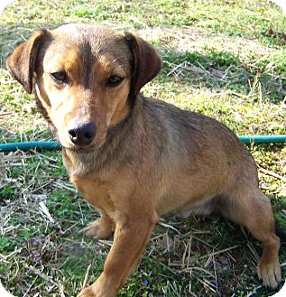 Patterdale Terrier (Fell Terrier) Mix Dog for adoption in Salem, New Hampshire - CRACKER JACK