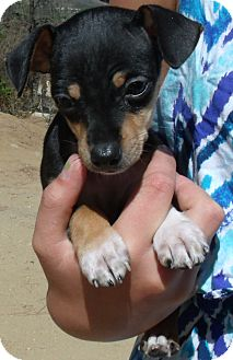 Chihuahua Puppy for adoption in Corona, California - BUDDY