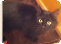Domestic Longhair Cat for adoption in Gainesville, Florida - Buttercup