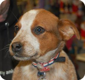 Blue Heeler Mix Puppy for adoption in Brooklyn, New York - Ressie
