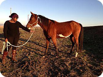 Arabian/Paint/Pinto Mix for adoption in Wheatland, California - Cy