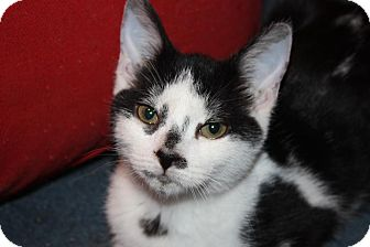 Domestic Shorthair Cat for adoption in Little Falls, New Jersey - Baylor (LE)