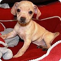 Adopt A Pet :: Garlic - Gilbert, AZ