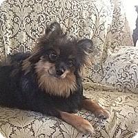 Adopt A Pet :: Teddie - Hilliard, OH