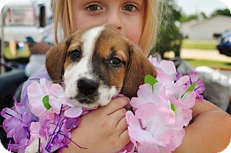 Beagle Mix Puppy for adoption in Graniteville, South Carolina - Hope