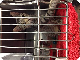 Domestic Shorthair Kitten for adoption in Turlock, California - Misha