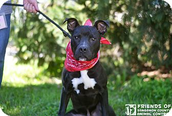 Pit Bull Terrier/Boxer Mix Dog for adoption in Springfield, Illinois - Axel