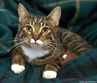 Domestic Shorthair Cat for adoption in St Louis, Missouri - Cooper
