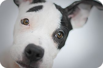 American Pit Bull Terrier Mix Puppy for adoption in Reisterstown, Maryland - Mogwai