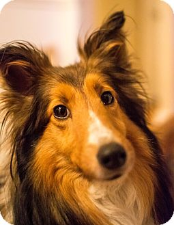 Sheltie, Shetland Sheepdog Dog for adoption in Pittsburgh, Pennsylvania - Rosie (Adopted)