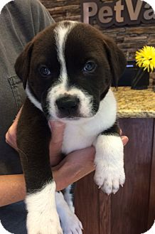 Border Collie Mix Puppy for adoption in Greenfield, Wisconsin - Bugsy