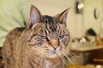 Domestic Shorthair Cat for adoption in Lincoln, Nebraska - Luigi
