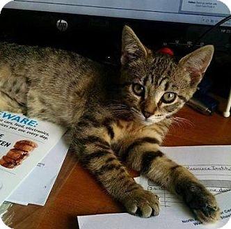 Domestic Shorthair Kitten for adoption in Anoka, Minnesota - Copper