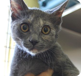 Domestic Shorthair Cat for adoption in Edwards AFB, California - Dena