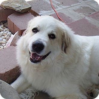Great Pyrenees Dog for adoption in Pittsburgh, Pennsylvania - Kimber