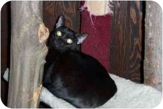 Domestic Shorthair Cat for adoption in Secaucus, New Jersey - Lucetta