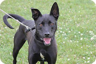 Labrador Retriever Mix Dog for adoption in Midland, Michigan - Corky