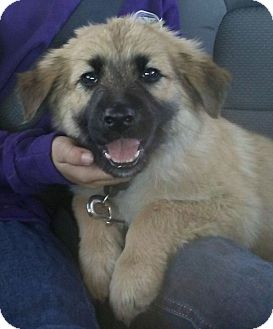 Shepherd (Unknown Type) Mix Puppy for adoption in Las Cruces, New Mexico - Rio