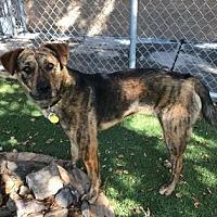 Labrador Retriever/Catahoula Leopard Dog Mix Dog for adoption in Scottsdale, Arizona - Meryl