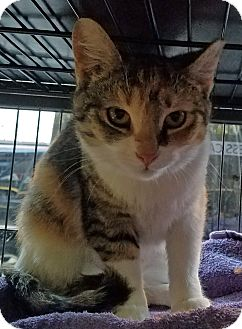 Domestic Shorthair Kitten for adoption in Queens, New York - Missy