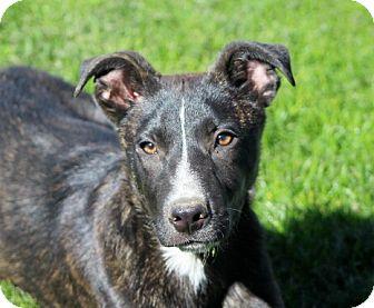 Dutch Shepherd/Labrador Retriever Mix Puppy for adoption in Liberty Center, Ohio - Nalin
