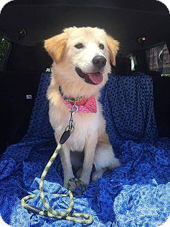 Golden Retriever/Collie Mix Dog for adoption in Darien, Connecticut - Holland