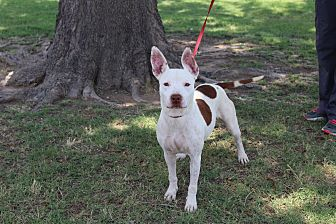 Pit Bull Terrier Mix Dog for adoption in Odessa, Texas - A02 Hailey