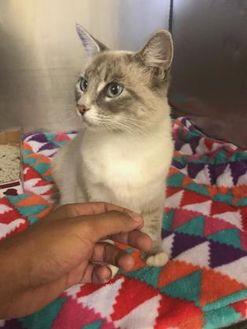 Domestic Mediumhair/Domestic Shorthair Mix Cat for adoption in Santa Paula, California - Precious