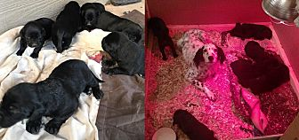 Labrador Retriever/English Setter Mix Puppy for adoption in Wood Dale, Illinois - Puppy #1- ADOPTION PENDING