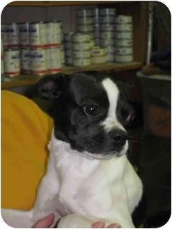Boston Terrier Mix Dog for adoption in Wahoo, Nebraska - Boston Terrier