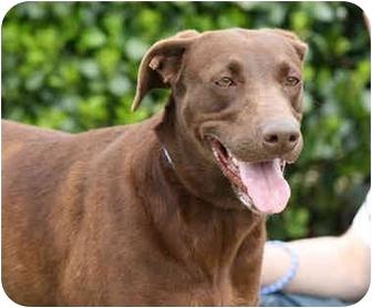 Doberman Pinscher/Labrador Retriever Mix Dog for adoption in Marion, Arkansas - Hazel:FOSTER NEEDED