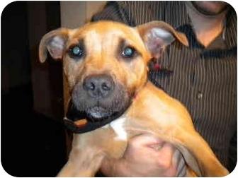 Rhodesian Ridgeback/American Bulldog Mix Puppy for adoption in Burbank, California - LULU