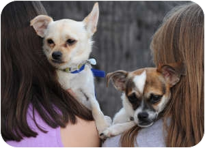Chihuahua/Terrier (Unknown Type, Small) Mix Dog for adoption in North Hollywood, California - Princess and Robin