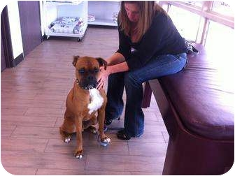 Boxer Dog for adoption in Lake Forest, California - Guinness