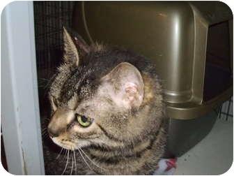 Domestic Shorthair Cat for adoption in Tipton, Iowa - Caesar