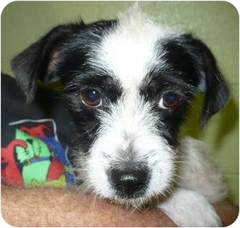 Terrier (Unknown Type, Small)/Lhasa Apso Mix Dog for adoption in Eastpoint, Florida - Dolly