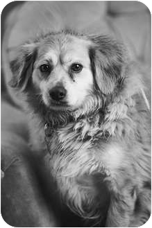 Cocker Spaniel/Golden Retriever Mix Dog for adoption in Portland, Oregon - Tanner