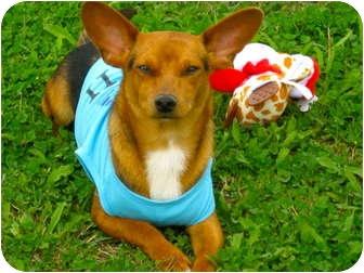 Chihuahua Mix Dog for adoption in Corpus Christi, Texas - C.B.