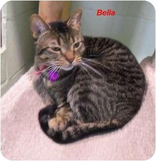 Domestic Shorthair Cat for adoption in Slidell, Louisiana - Bella