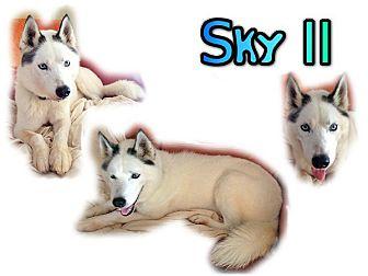 Siberian Husky Dog for adoption in Seminole, Florida - Sky II