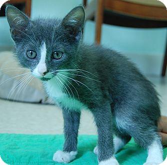 Domestic Shorthair Kitten for adoption in Bradenton, Florida - Bynx