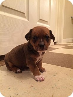 Dachshund/Chihuahua Mix Puppy for adoption in College Station, Texas - Barney