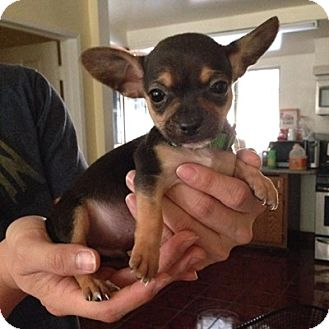 Chihuahua/Dachshund Mix Puppy for adoption in North Hollywood, California - Merci